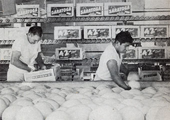 Honeydews being packed in cartons at the Yuba City Plant in 1960s.